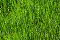 Texture Of Grass Royalty Free Stock Photo - 14604935