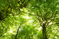 Beech Trees Stock Images - 14605204