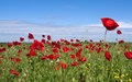 Red Poppies Stock Images - 14607864