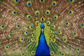 Proud Peacock Stock Images - 14612994