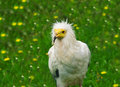 Vulture Royalty Free Stock Photography - 14616117