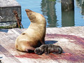 Newborn Sealion Stock Photo - 14633500
