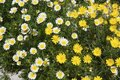 Daisy Yellow And White Flowers In Garden Stock Images - 14633674