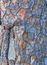 Slash Pine Bark Royalty Free Stock Photo - 14635535