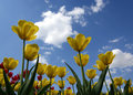 Yellow Tulips Royalty Free Stock Photo - 14648165