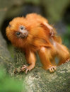 Golden Lion Tamarin Baby Royalty Free Stock Photo - 14658265