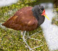 Jacana 7 Stock Photos - 14682203