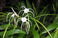 White Spider Lily Royalty Free Stock Images - 14685859