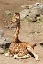 Baby Giraffe Sitting On The Ground Royalty Free Stock Images - 14687789