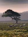 The Tree And Herd Royalty Free Stock Images - 1470589
