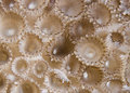 Rubber Coral (Palythoa Tuberculosa) Detail. Royalty Free Stock Images - 14707659