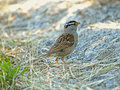 White Crowned Sparrow Royalty Free Stock Photography - 14711797