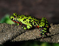 Oriental Firebellied Toad ,china, Green Frog Royalty Free Stock Images - 14728169