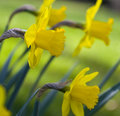 Daffodils Stock Photography - 14730502