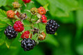 Wild Blackberries Royalty Free Stock Image - 14742056