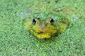 Green Frog In A Pond Royalty Free Stock Photo - 14747415