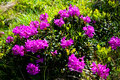 Rhododendron Royalty Free Stock Photos - 14755828