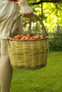 Fruit Picking Stock Photo - 14759610