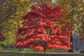 Japanese Maple - Acer Palmatum Royalty Free Stock Photo - 14759975