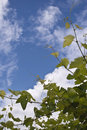 Green Grapes And Blue Sky Royalty Free Stock Photo - 14770835