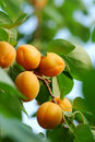 Apricot Stock Images - 14775564