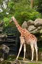 Giraffe Royalty Free Stock Photo - 14781015