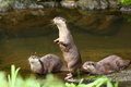 Herd Of Otter Royalty Free Stock Images - 14782539