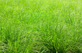 Tall Grass Royalty Free Stock Photos - 14787228