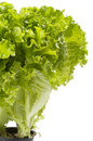 Lettuce Bunch Royalty Free Stock Images - 14817339
