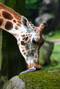 Giraffe Head Royalty Free Stock Photos - 14819798