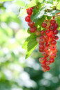 Red Currant Royalty Free Stock Images - 14842029