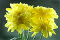 Yellow Chrysanthemums Stock Images - 14861604