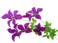 Clematis Royalty Free Stock Photo - 14866785