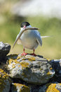 Artic Tern With Sand Eel Royalty Free Stock Photo - 14882355