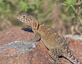 Collared Lizard 7 Royalty Free Stock Images - 14888629