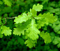 Oak Leaves Royalty Free Stock Images - 14912409