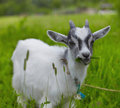 Goat Royalty Free Stock Photography - 14915797