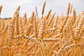 Gold Wheat Field Stock Photography - 14931762