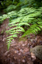 Forest Fern Leaves Royalty Free Stock Images - 14942169