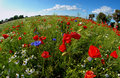 Round Poppy Field Royalty Free Stock Photography - 14954967