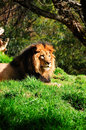 Male Lion Stock Photography - 14957342