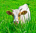 Cute Young Cow Royalty Free Stock Photography - 14980677