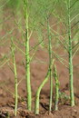 Asparagus Poles On The Field Stock Image - 14999421