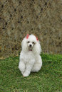 French Poodle 7 Royalty Free Stock Images - 1507489