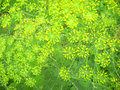 Fennel Flowers Stock Photos - 15011513