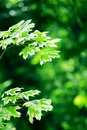 Green Maple Leaves Royalty Free Stock Photography - 15018757