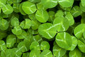 Clover Stock Image - 15020541