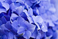 Hydrangea Royalty Free Stock Images - 15029869