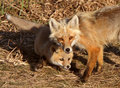 Red Fox Vixen With Pup On Hecla Island In Manitoba Stock Photos - 15039693