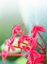 Red Ixora Flower Against Green Leaves Royalty Free Stock Image - 15042386
